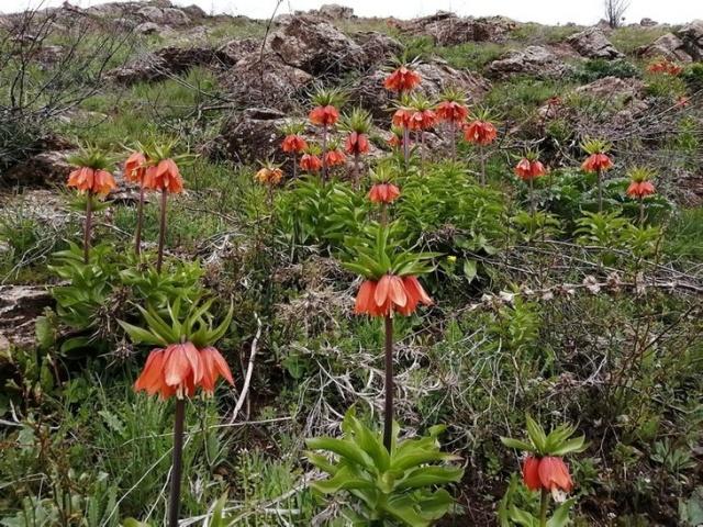 Bitlis'te baharla ters laleler açtı.